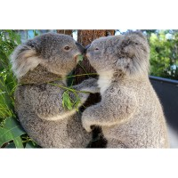 Think, Care, Act - Friends of the Koalas