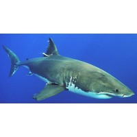 Resources for Shark Surveillance and Research Welcome